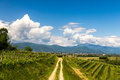 Grapevine field in the italian countryside Royalty Free Stock Photo
