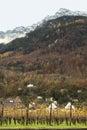 Grapevine field in liechtenstein autumn Stock Photo