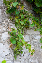 Grapevine green and blue on stone wall Stock Image