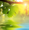 Grapevine leaf over water