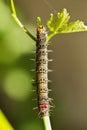 Grapevine Moth Caterpillar