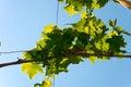 Grapevine pergola Royalty Free Stock Photo