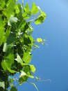 Grapevine photo with the image against the sky there is a place for the text Royalty Free Stock Photography