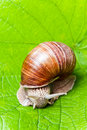 Grapevine snail eating green vine leaves helix pomatia Royalty Free Stock Images