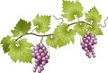 Grapevine vector illustration of grapes and leaves Royalty Free Stock Image