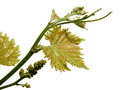 Grapevine vine sprout with young grape cluster on white Royalty Free Stock Images