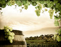 Grapevine and vineyard Royalty Free Stock Photos