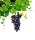 Grapevine with wine grape cluster Royalty Free Stock Photo