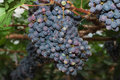 Grapevines with Bunches of Grapes Royalty Free Stock Photo