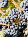 Grapevines with butterfly Stock Photos