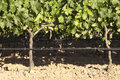 Grapevines closeup of in the flowering season borba alentejo portugal Stock Photo