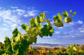 Grapevines, mountains and blue sky Royalty Free Stock Photos