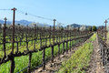 Grapevines in a row napa valley california Royalty Free Stock Photos
