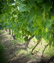 Grapevines Royalty Free Stock Photo