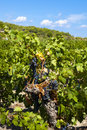 Grapevines in the south of france with red grapes at gruissan Royalty Free Stock Images