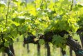 Grapevines in springtime, Hungary Royalty Free Stock Photo