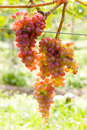 Grapevines in vineyard Stock Photos