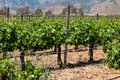 Grapevines at a Vineyard in the City of Ensenada, Mexico Royalty Free Stock Photo