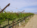 Grapevines in winter california desert Royalty Free Stock Photo