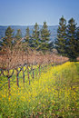 Grapevines in Winter, Wine Country California Royalty Free Stock Photography