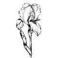 Graphic the branch flower Iris. Coloring book page doodle for adult and children. Black and white outline illustration.