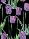 Graphic flowers blue tulip on a black background. Floral seamless pattern. Royalty Free Stock Photo