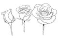 Graphic roses set black and white ink illustration of three Royalty Free Stock Photos