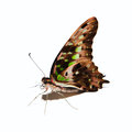 Graphium Agamemnon Butterfly  ...