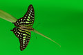 Graphium on grass green close up Royalty Free Stock Image