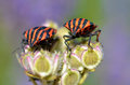 Graphosoma bugs on plant Stock Photo