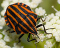 Graphosoma lineatum, Red & Black Striped Stink Bug Stock Photo