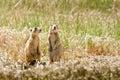Grasland-Hunde Stockfotos