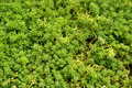 Grass background green grassy grassy carpet on the ground lush Royalty Free Stock Images