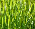 Grass blades background macro of cereal at sunny morning Stock Image