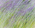 Grass Blowing in the Breeze Royalty Free Stock Photo