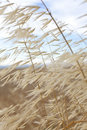 Grass Blowing In The WInd Royalty Free Stock Photo