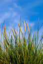 Grass, blue sky Royalty Free Stock Photography