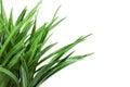 Grass bush on white background Royalty Free Stock Photo