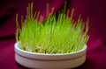 Grass for cats closeup green wheat Stock Image