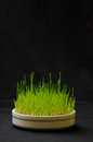 Grass for cats green wheat Royalty Free Stock Photography