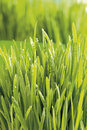 Grass close up Royalty Free Stock Photo