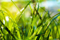 Grass. Close up Royalty Free Stock Photo