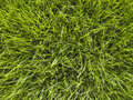 Grass Closeup Royalty Free Stock Photography