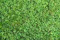 Grass with clover texture Royalty Free Stock Photo
