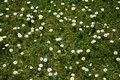 Grass with daisies Royalty Free Stock Images