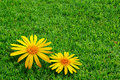 Grass and Daisies Royalty Free Stock Images