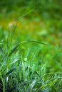 Grass in dew Royalty Free Stock Photos