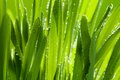 Grass and dew closeup Royalty Free Stock Photography