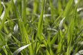 Grass with dew green spring in the morning Stock Photography