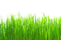 Grass with dew isolated Stock Photography